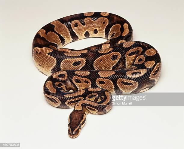 Royal Python/ Ball Python (Python regius), studio shot