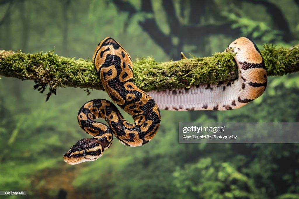 Royal python on branch : Stock Photo