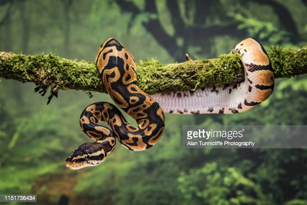 royal python on branch - snake stock pictures, royalty-free photos & images