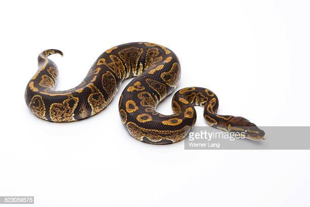 Royal Python -Python regius-, Super Granite, male, Markus Theimer reptile breeding, Austria