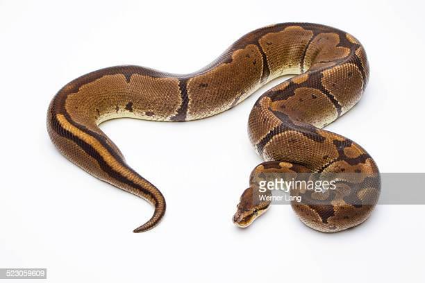 royal python -python regius-, super venom, female, markus theimer reptile breeding, austria - boa stock pictures, royalty-free photos & images