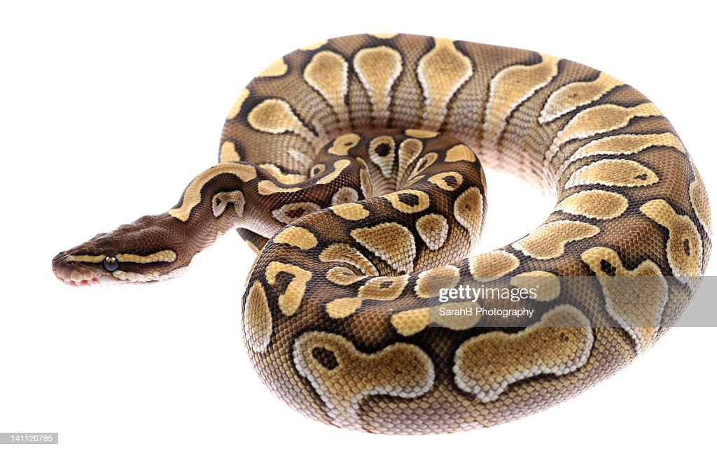 royal python snake stock photo getty images