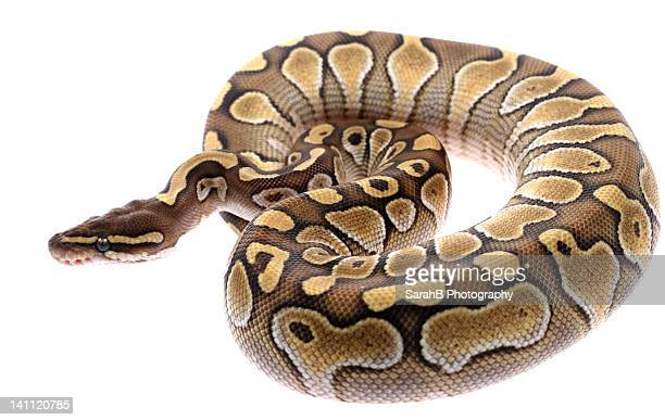 royal python snake - snake stock pictures, royalty-free photos & images