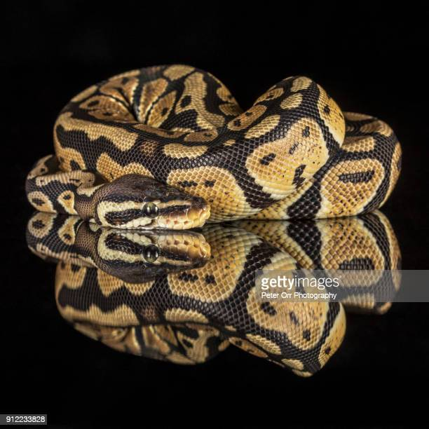 A Royal Python with Reflection