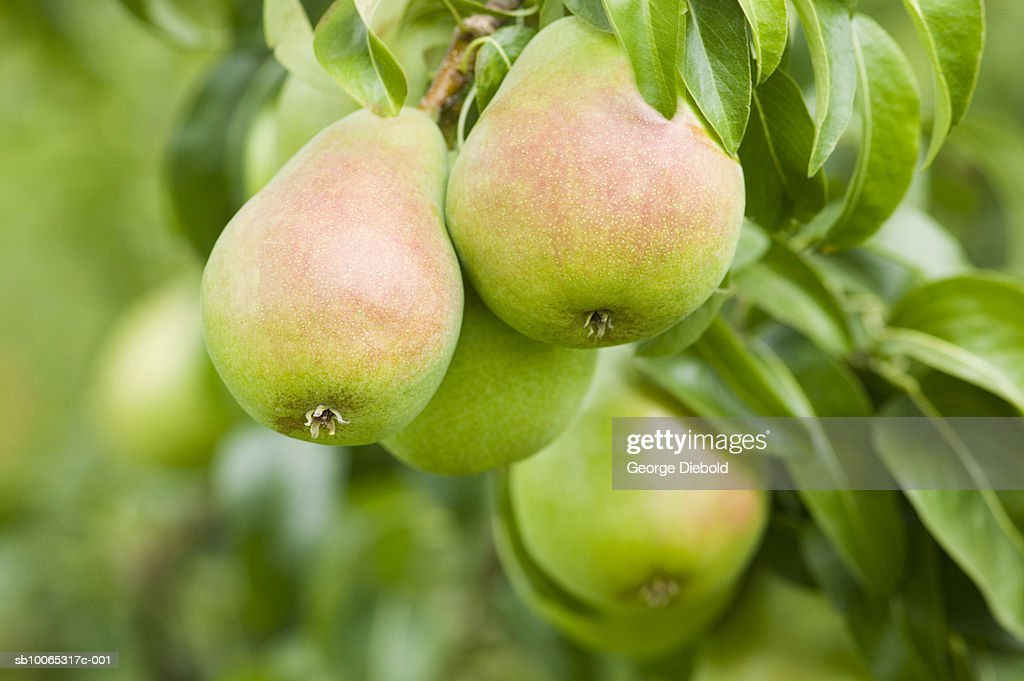 Royal Riveria Bartlett pears in tree, close-up : Foto stock