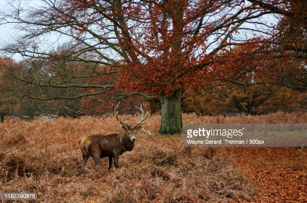 a royal stag - wayne gerard trotman stock pictures, royalty-free photos & images