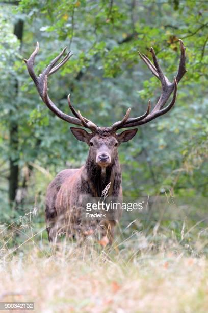 Royal stag, red deer (Cervus elaphus) stands in autumn forest, rutting season, captive, North Rhine-Westphalia, Germany