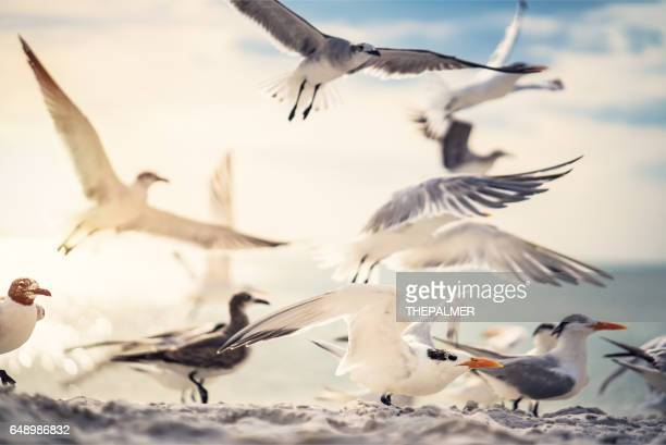 royal tern and seagulls - royal tern stock photos and pictures