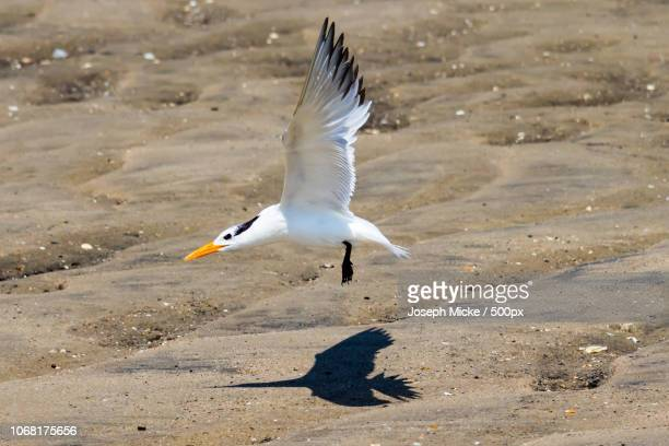 royal tern flying above sand - royal tern stock photos and pictures