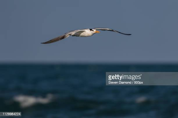 royal tern flying against clear sky - royal tern stock photos and pictures