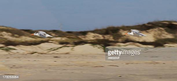 royal tern flypast - zeesstof stock pictures, royalty-free photos & images