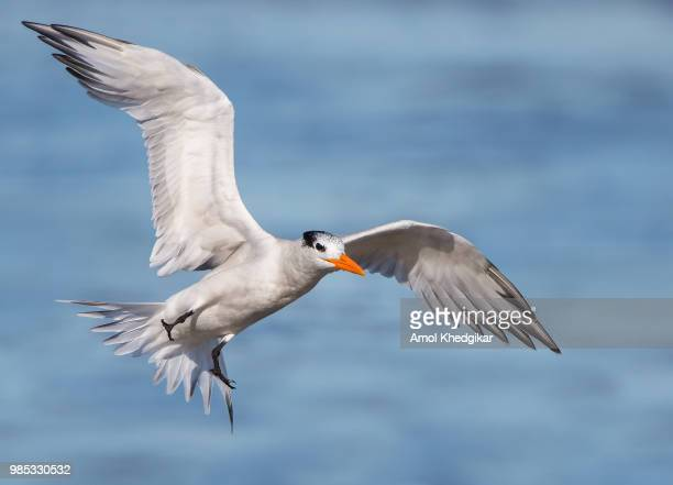 royal tern incoming - royal tern stock photos and pictures