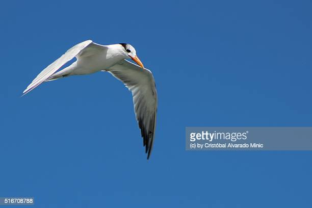 royal tern (nonbreeding plumage) - royal tern stock photos and pictures