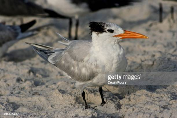 royal tern - royal tern stock photos and pictures