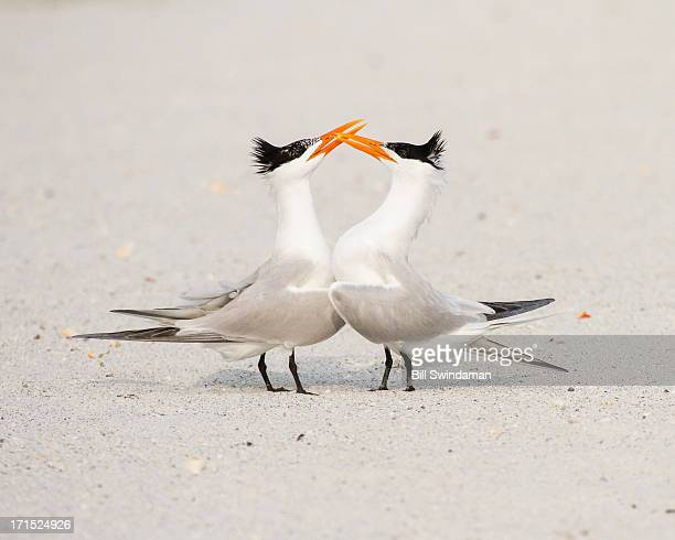 royal tern shorebirds mating behavior - royal tern stock photos and pictures