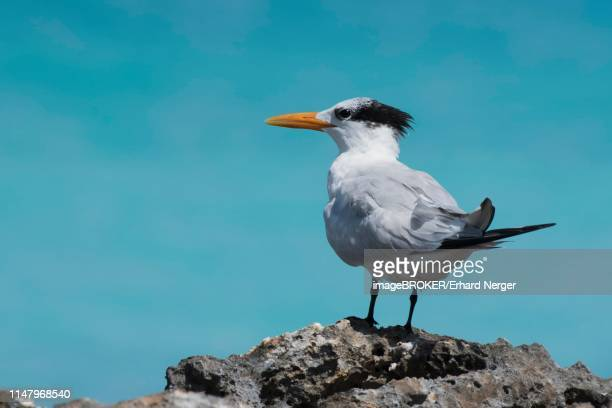 royal tern (sterna maxima) stands on rock, cayo santa maria, cuba - royal tern stock photos and pictures