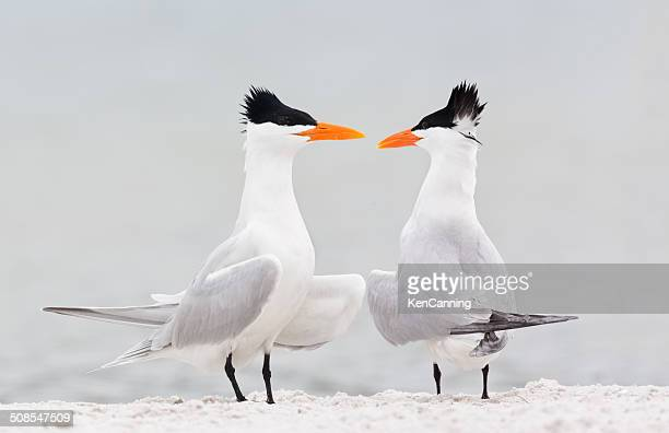 royal terns courtship - royal tern stock photos and pictures