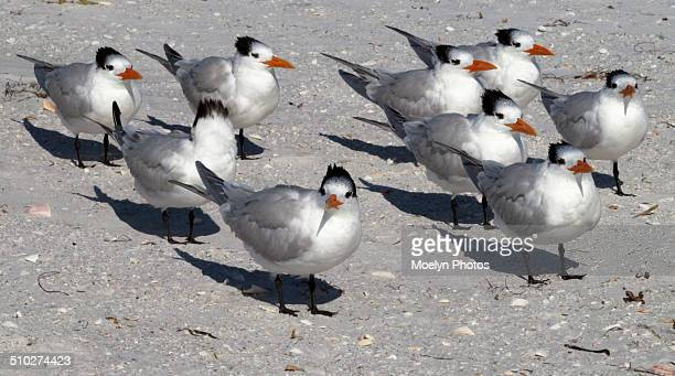 royal terns in a row - royal tern stock photos and pictures