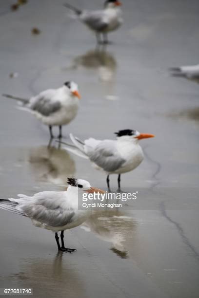royal terns in the surf - royal tern stock photos and pictures