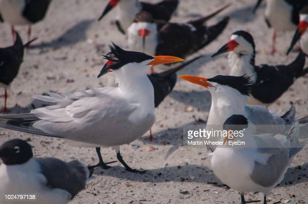 royal terns perching at beach - royal tern stock photos and pictures
