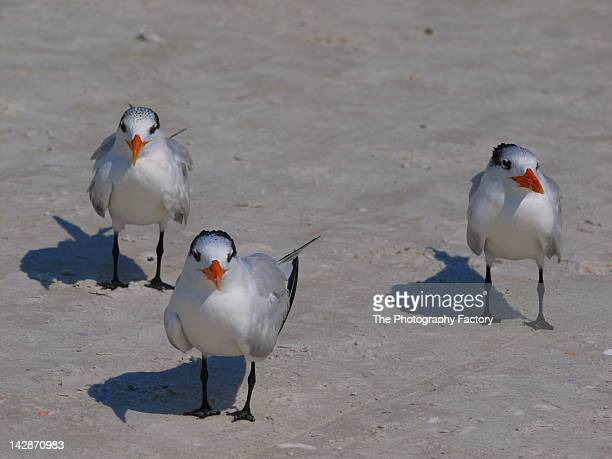 royal terns - siesta key stock photos and pictures