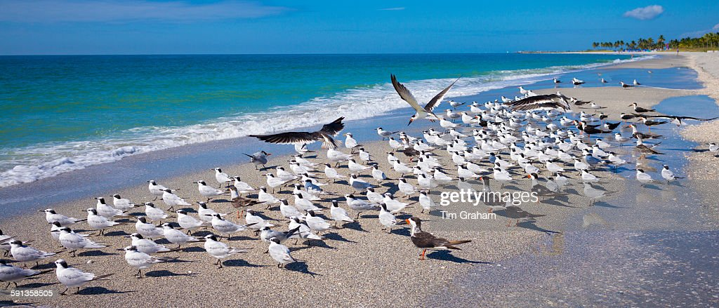 Royal Terns on Captiva Island, Florida, USA : News Photo
