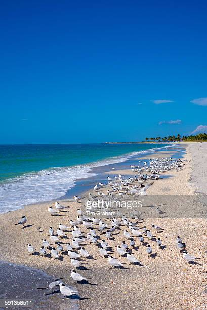 Royal Terns Thalasseus maximus flocking on beach at Captiva Island Florida USA
