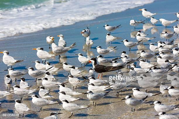 Royal Terns Thalasseus maximus flocking on beach at Captiva Island Florida USA