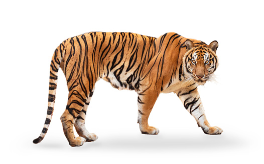 royal tiger (P. t. corbetti) isolated on white background clipping path included. The tiger is staring at its prey. Hunter concept. 1218694103