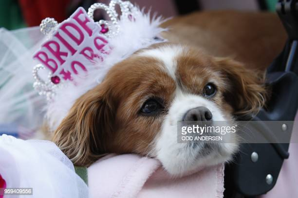 Royal wellwisher Anne Daly holds her dog Camilla in Windsor on May 17 2018 two days before the royal wedding of Prince Harry and Meghan Markle...