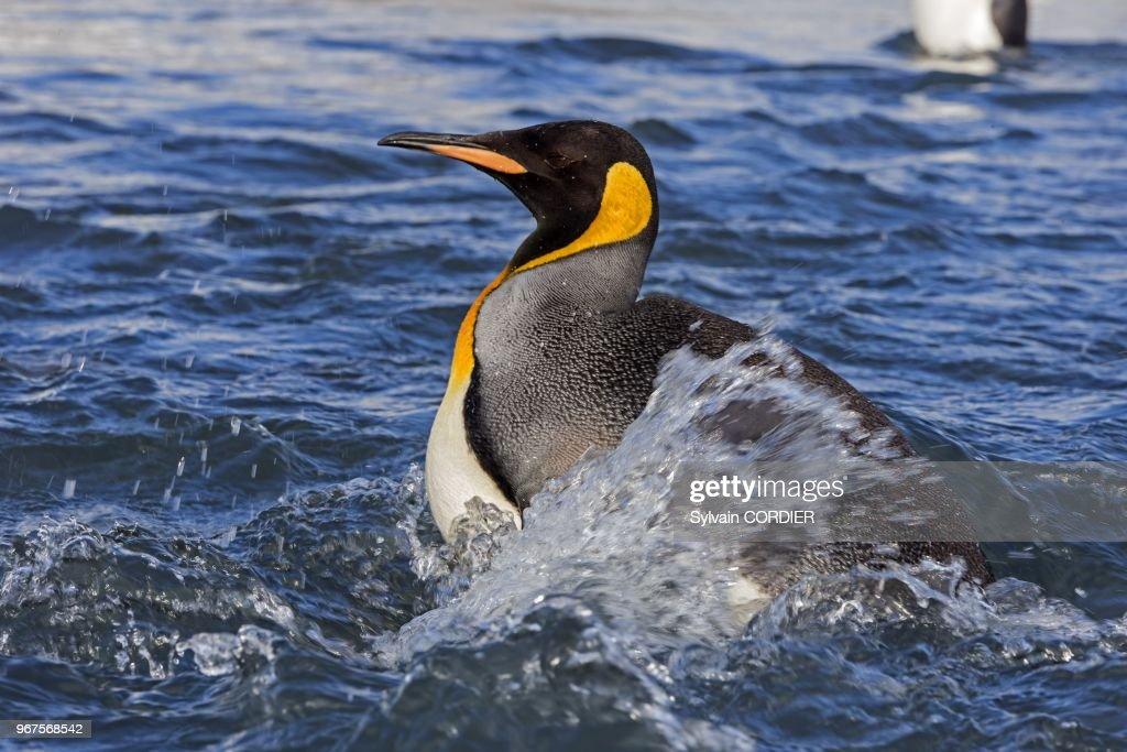 King Pinguin (Aptenodytes Patagonicus), South Georgia, Antartica : News Photo