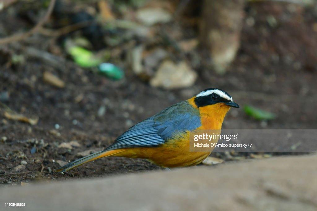 Rüppell's robin-chat (Cossypha semirufa) : Foto stock