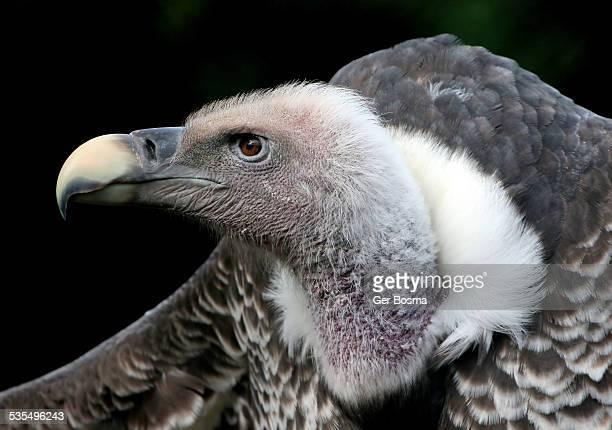 Rüppell's Vulture Glamor Portrait