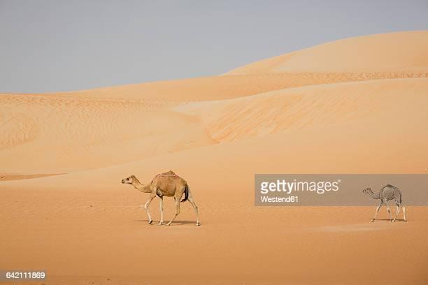 uae, rub' al khali, two camels walking through the desert - camel active stock-fotos und bilder