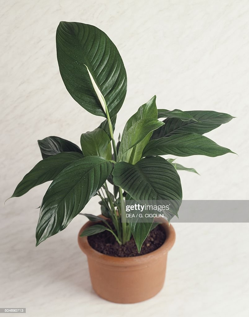 Rubber Fig Or Rubber Plant (Ficus Sp), Moraceae.