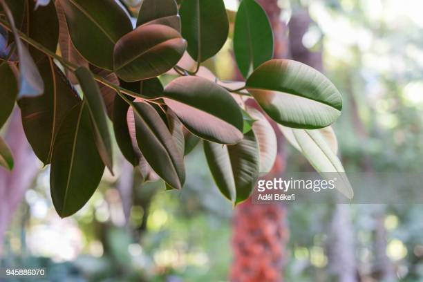 Rubber fig tree