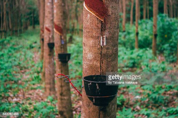 rubber latex production from rubber tree farm in Coh Chang iceland,Thailand