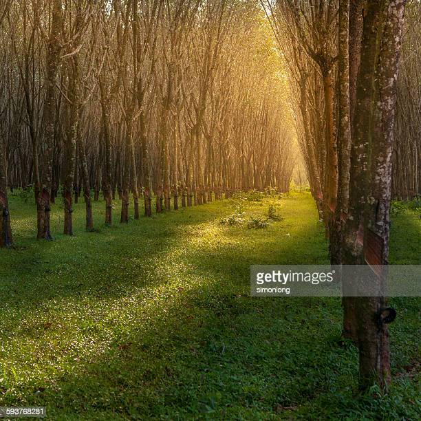 Rubber plantation in Thailand