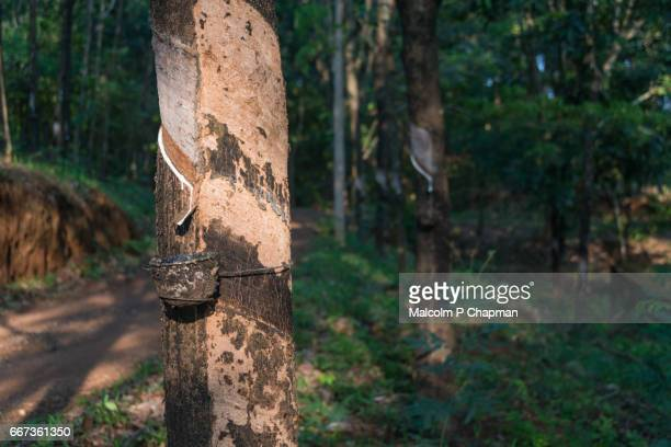 Rubber plantation. Tapping and collecting latex as part of rubber production, Kerala, India
