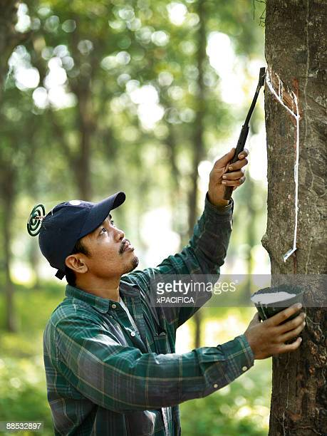 A rubber tapper working in on a rubber plantation.