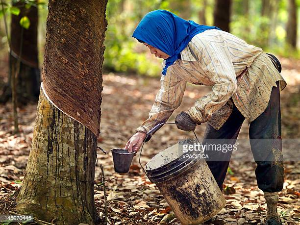 Rubber tappers collecting natural rubber/ latex.