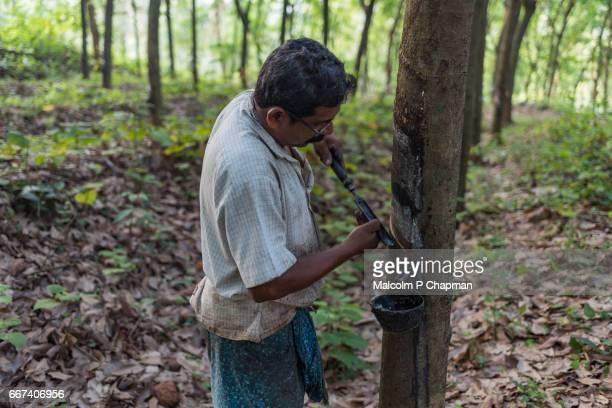 "rubber tapping, man working on rubber plantation, irumbakachola near palakkad, kerala, india - india ""malcolm p chapman"" or ""malcolm chapman"" ストックフォトと画像"