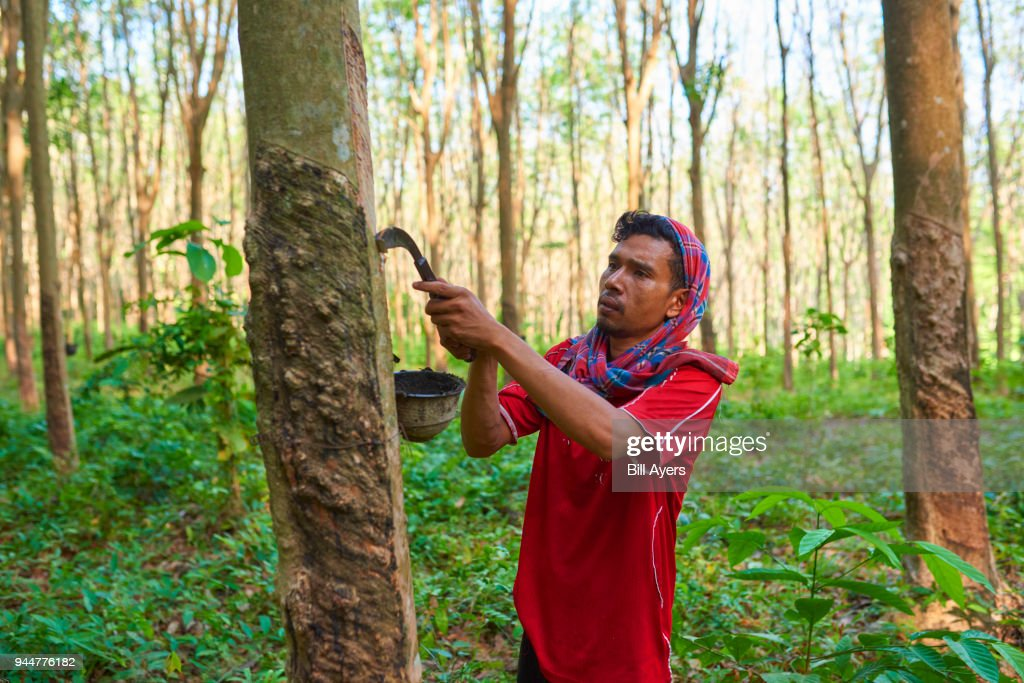 Rubber Tapping : Stock Photo