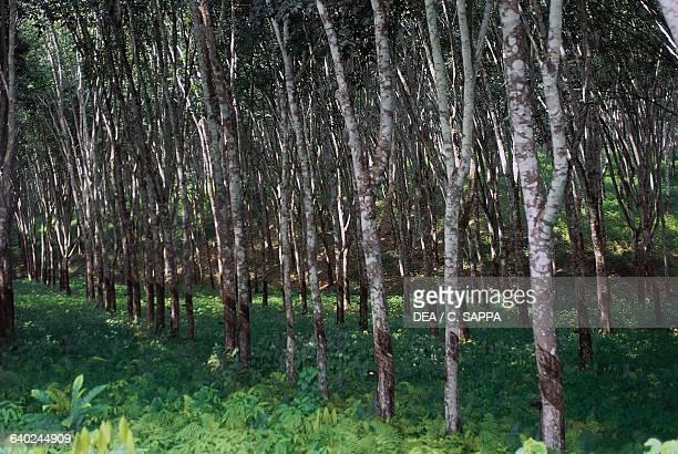 Rubber tree grove Ghana