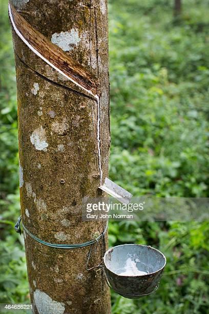 Rubber tree