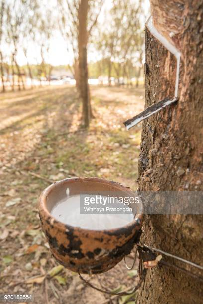 rubber tree - lebanon country stock pictures, royalty-free photos & images
