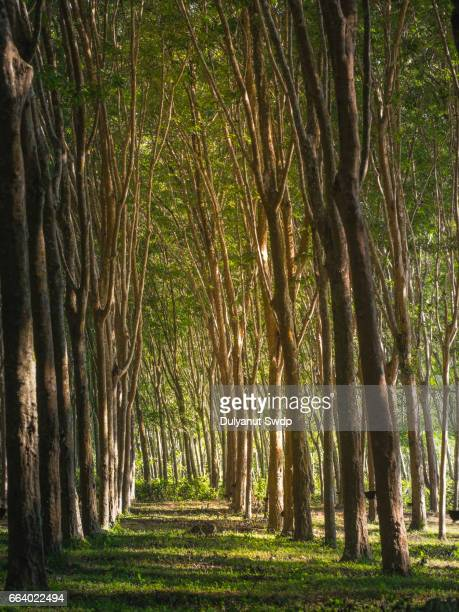 Rubber tree plantation in Krabi ,Thailand