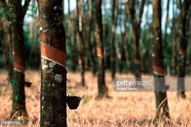 Rubber trees in the Chantaburi region of Thailand