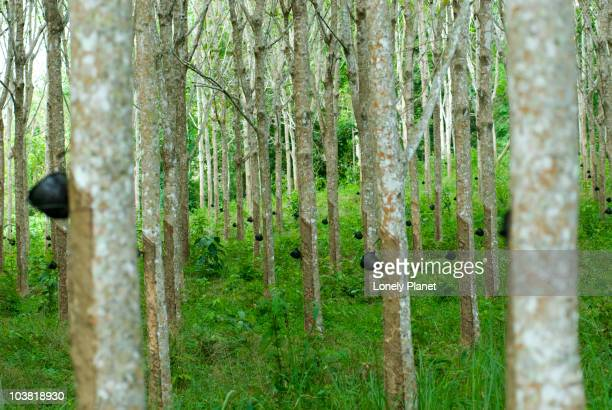 Rubber trees.