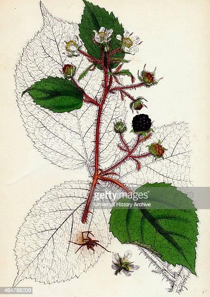 Rubus glandulosus Glandularstemmed Bramble